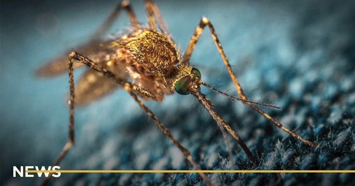 Ученые смогли изменить пол комара. Почему это важно?